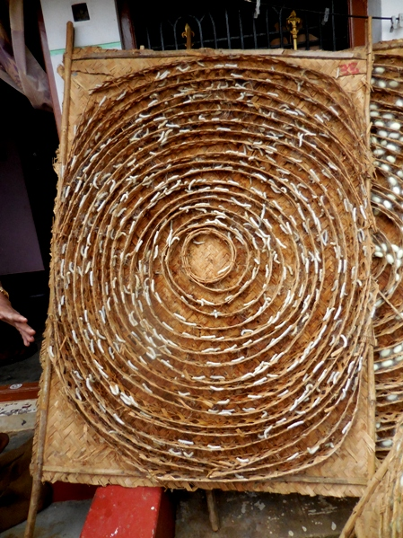pix7 094 silkworm larvae before pupating