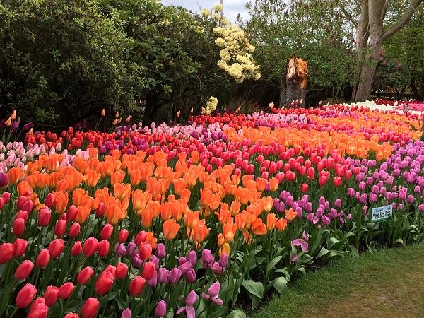 Tulip bed in Roozengaarde display garden 2018