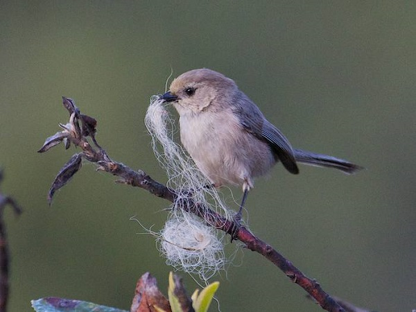 Bushtit in Glen Canyon, San Francisco. (c) Janet Kessler
