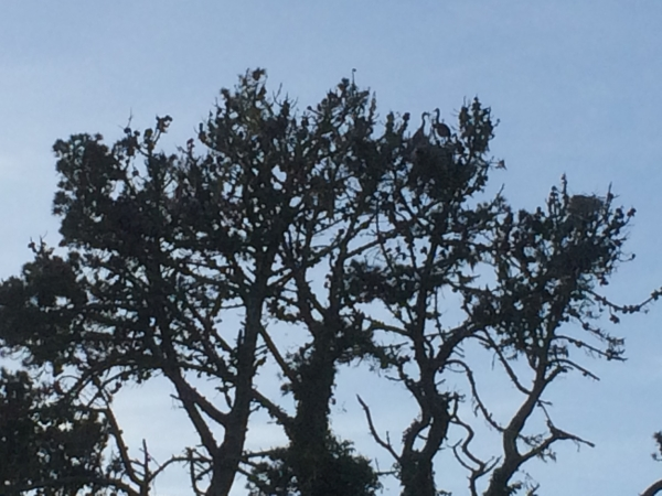 Tree silhouette with barely visible nest of great blue herons