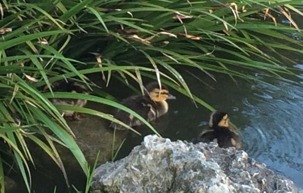 Three little mallard duckling hiding - Stow Lake, San Francisco